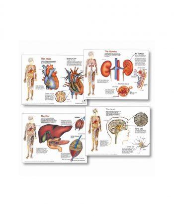 Organs Chart