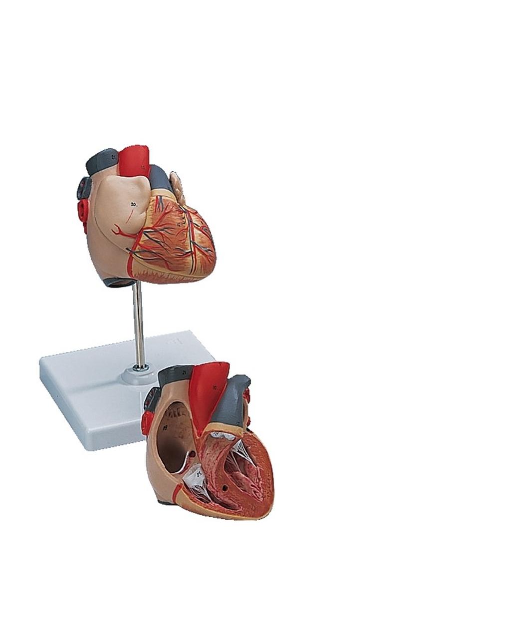 Classic Heart Model