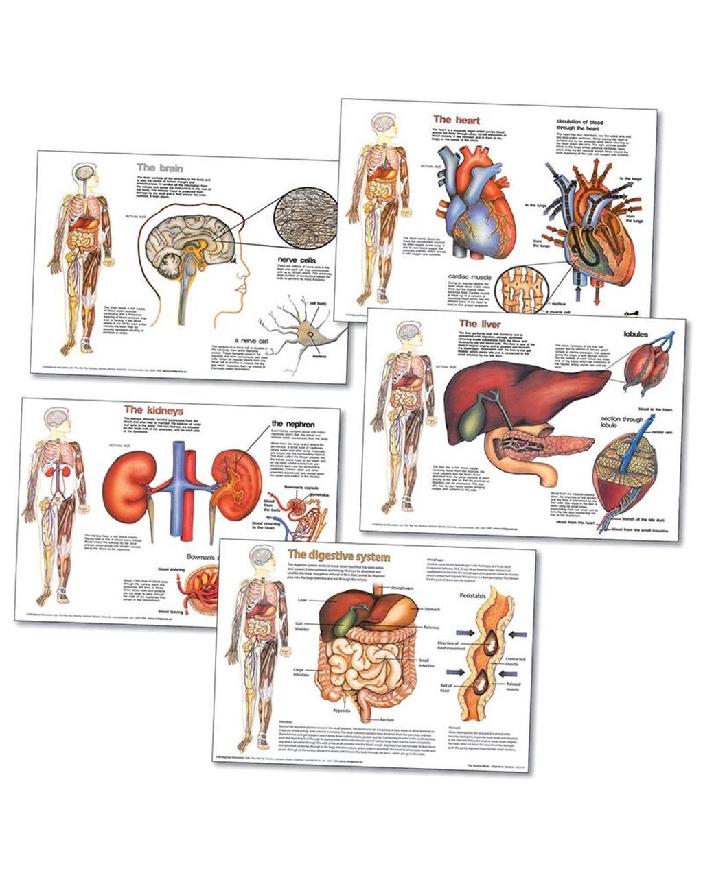 Human Body Organ 5 Poster Pack
